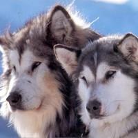club de race malamute d'alaska